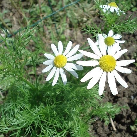 semillas-de-manzanilla