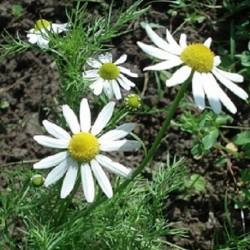 Matricaria recutita ECHTE KAMILLE (pflanze)