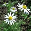 Matricaria recutita CHAMOMILE (plant)