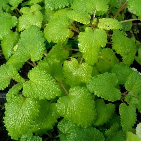 plant-de-melisse