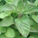 Mentha aquatica MENTHE AQUATIQUE (plante)
