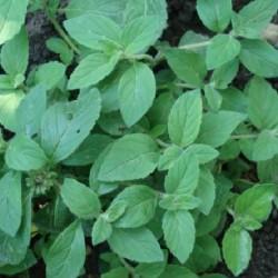 Mentha arvensis MENTHE BANANE (plante)