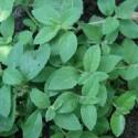 Mentha arvensis BANANA MINT (plant)