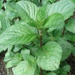 Mentha citrata ORANGENMINZE (pflanze)
