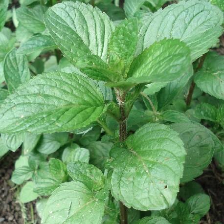 orangenminze-pflanze