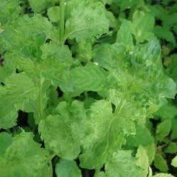 Mentha spicata crispa MENTA CRISPA (planta)