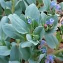 Mertensia maritima PLANTA OSTRAS VEGETAL (10 semillas)