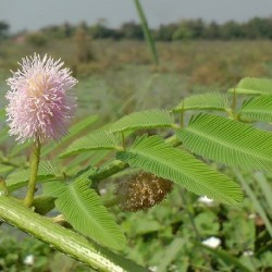 Mimosa pigra HIERBA QUE MUEVE (10 semillas)
