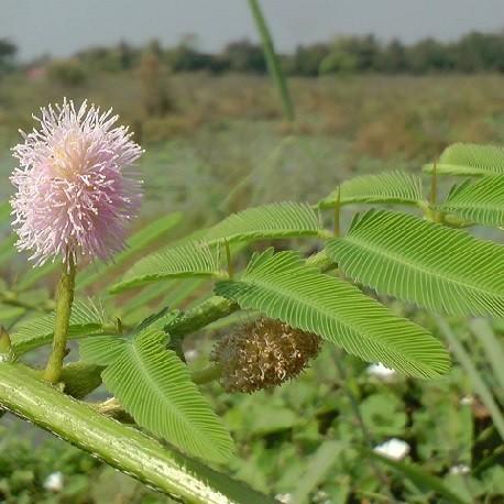 riesen-sinnpflanze
