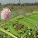 Mimosa pigra RIESEN SINNPFLANZE (10 samen)