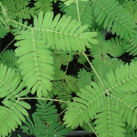 plant-de-plante-sensitive