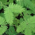 Mimosa pudica, sensitiva PLANTA DE LA VERGÜENZA (planta)