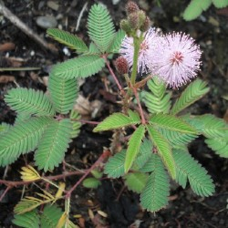 Mimosa pudica HIERBA SENSITIVA /VERGONZOSA (25 semillas)