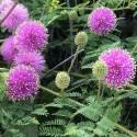 Mimosa quadrivalvis ARBOL SENSITIVA (10 semillas)