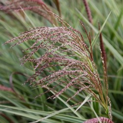 Miscanthus sinensis ELEPHANT GRASS (20 seeds)