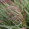 Miscanthus sinensis PLATEADO CHINO (20 semillas)