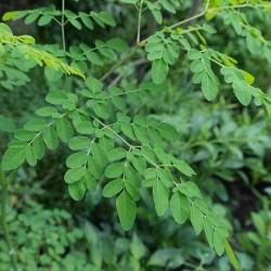 Moringa oleifera MORINGA / DRUMSTICK TREE (5 seeds)