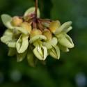 Mucuna gigantea OJO DE BUEY / SERPIENTE VEGETAL (2 semillas)
