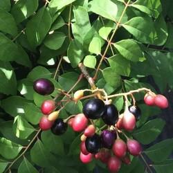 Murraya koenigii CURRYBAUM / INDISCHES CURRYBLATT (5 samen)