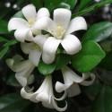 Murraya paniculata ORANGENRAUTE (pflanze)