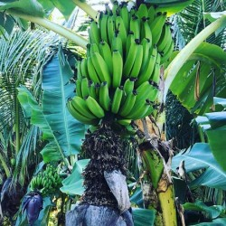 Musa paradisiaca PLATANERO (5 semillas)