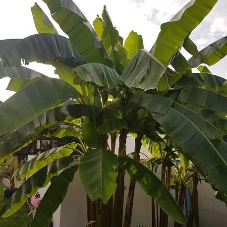 bananera-himalaya