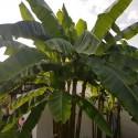 Musa sikkimensis HIMALAYA DARJEELING BANANE (5 samen)