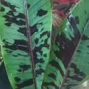 Musa zebrina RED BLOOD BANANA (5 seeds)