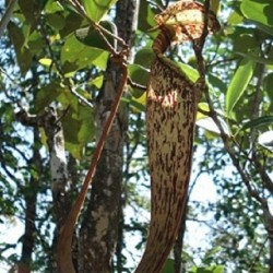Nepenthe-planta-jarra-semillas