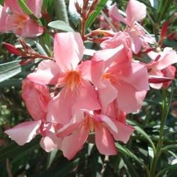 Nerium oleander LAURIER ROSE (20 graines)