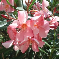 Nerium oleander ROSENLORBEER (20 samen)