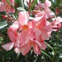 Nerium oleander OLEANDER (20 seeds)