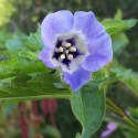 Nicandra physalodes APPLE OF PERU (20 seeds)