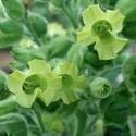Nicotiana rustica SACRED TOBACCO (50 seeds)