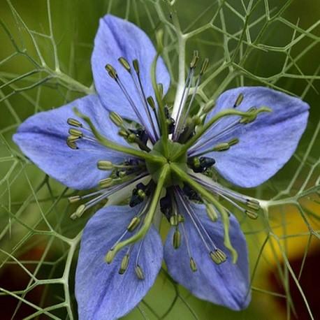 semillas-nigella-sativa