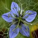 Nigella sativa COMINO NEGRO /AJENUZ (20 semillas)