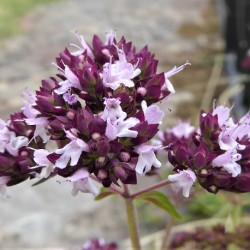 Origanum majorana MARJORAM (25 seeds)