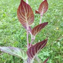 Paederia lanuginosa PLANTA DE QUESO (planta)