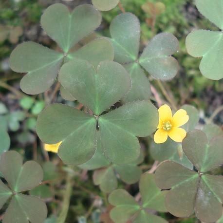 horn-sauerklee-pflanze