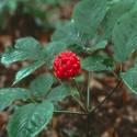 Panax quinquefolius GINSENG AMERICANO (10 semillas)