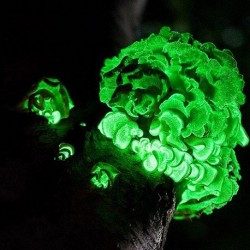 Panellus stipticus LUMINESCENT FUNGI (2 dowels)