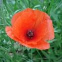 Papaver rhoeas CORN POPPY (50 seeds)