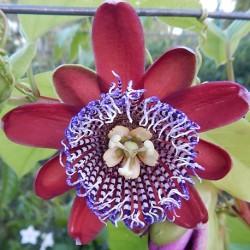 Passiflora alata OUVACA / FLOR DE LA PASION ROJA (7 semillas)