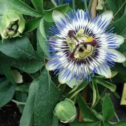 Passiflora caerulea FLEURS DE LA PASSION, PASSIFLORE BLEUE (plante)