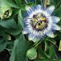 Passiflora caerulea PASSIONSBLUMEN (pflanze)
