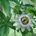 Passiflora caerulea BLUE PASSION FLOWERS (5 seeds)