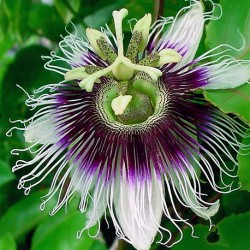 Passiflora edulis PASSION FRUIT (5 seeds)
