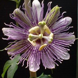 Passiflora incarnata PURPLE PASSIONFLOWER / MAYPOP (7 seeds)