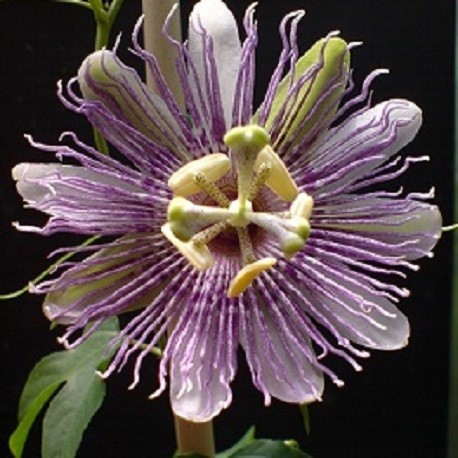 purple-passionflower-maypop-seeds