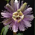 Passiflora incarnata PURPLE PASSIONFLOWER / MAYPOP (7 seeds)